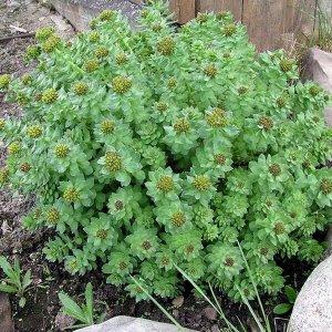 Трава солянка холмовая: лечебные свойства и применение