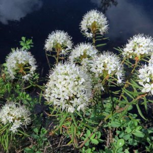 Багульник болотный – лечебные свойства и противопоказания