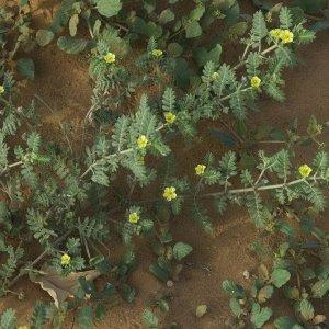Керцы растение