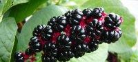 Описание, полезные свойства и применение растения лаконос