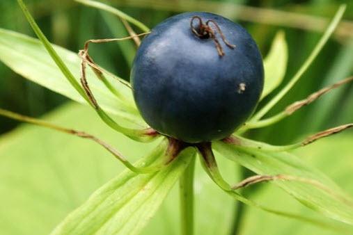 Ядовитые растения вороний глаз описание